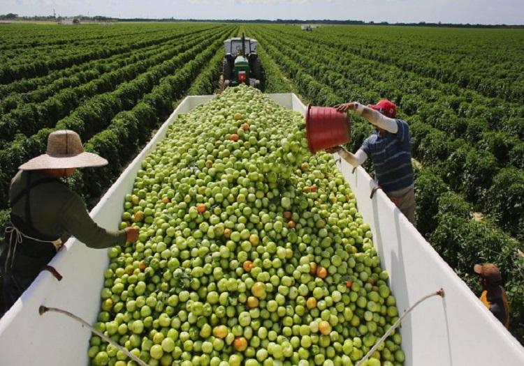 Agricultural workers fill a bin with tomatoes